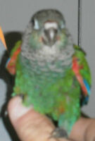 Female Pearly Conure - Weaned and ready