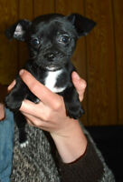 Gorgeous Chihuahua Puppies READY TO GO