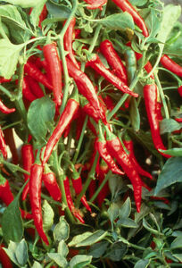 Burnin Ring of Fire Hot Pepper Seeds