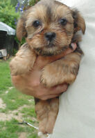 Morkie x Shih-tzu  are sold call to go on wait list for Sept.