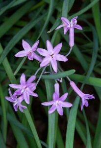 Society garlic (Tulbaghia violacea) purple flowers and evergreen