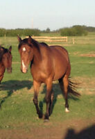 Arab/Paint Mare For Sale