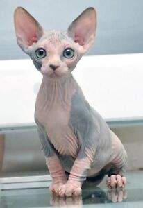 looking for a sphynx cat