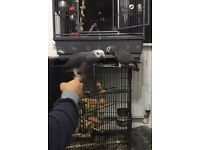 Hand reared tame african grey baby parrot for sals