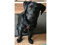 6 months LABRADOR DOG