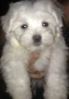 Malle Teacup Maltese Puppy