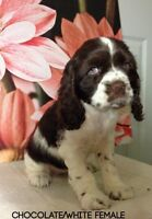 Gorgeous Cockerspaniel puppies For Sale (Green eyes)