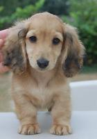 English Cream Miniature Long Haired Dachshund pup