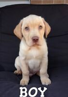 Yellow Lab Puppies (Green Eyes!!) 2 puppies!!