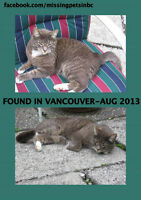 Missing Grey/white Tabby Cat