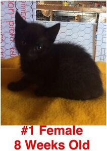 Rescue Kittens- Spayed/Neutered, Vaccinated, Dewormed! London Ontario image 1
