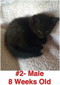 Rescue Kittens- Spayed/Neutered, Vaccinated, Dewormed! London Ontario image 2