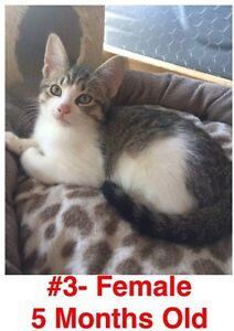 Rescue Kittens- Spayed/Neutered, Vaccinated, Dewormed! London Ontario image 3
