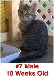 Rescue Kittens- Spayed/Neutered, Vaccinated, Dewormed! London Ontario image 7