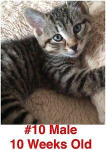 Rescue Kittens- Spayed/Neutered, Vaccinated, Dewormed! London Ontario image 10