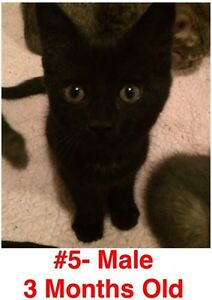 Rescue Kittens- Spayed/Neutered, Vaccinated, Dewormed! London Ontario image 5