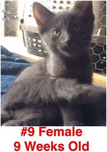 Rescue Kittens- Spayed/Neutered, Vaccinated, Dewormed! London Ontario image 9