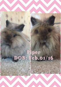 Adorable Lionhead Looking for Pet Home