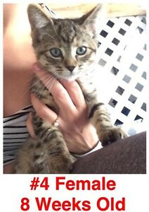 Rescue Kittens- Spayed/Neutered, Vaccinated, Dewormed! London Ontario image 4