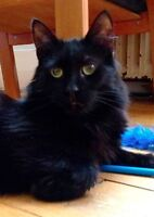 Beautiful Black cats and kittens to donate
