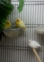 Russian canaries,bec d'argent,cage a vendre...