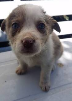 Adorable Border Collie x Pups City North Canberra Preview