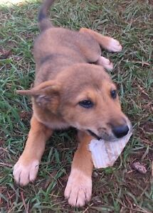 Last Two Beautiful Kelpie cross puppies puppy pup Redland Bay Redland Area Preview