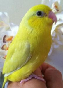 ❤♥☆♥ Parrotlets ♥ Babies with Cage and Food ♥☆♥❤