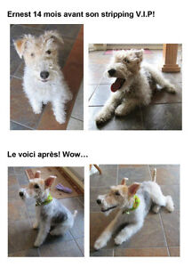 Épilation à la main (Fox-terrier, Westie)