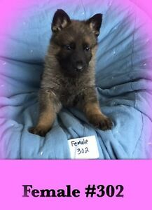 Purebred CKC Registered German Shepherd Puppies