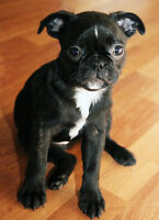 - VENDU - Chiots Boston Terrier x Pug (Carlin)