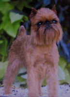 Brussels Griffon Pups--need some love and laughter in your life?