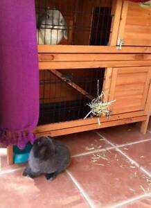 Two lovely mini lop rabbits for sale in Auburn Auburn Auburn Area Preview