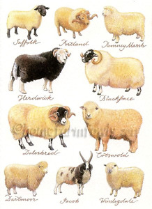 WANTED: Ewes of any breed