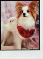 Papillon Dogs - Purebred - one male and one female