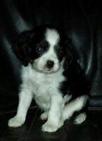 Stunning Cavalier King Charles Spaniel Puppy ~ Home Raised