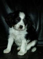 Stunning Cavalier King Charles Spaniel Puppy ~ Home Raised
