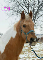 14 YR OLD PALOMINO MARE VERY MOTIVATED TO SELL