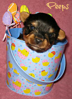 Accepting deposits on Yorkshire Terrier (yorkie) Puppies