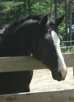 HANDSOME 15YR OLD SOLID BLACK PAINT GELDING