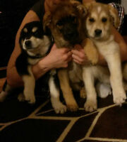 Husky/Shepherd Puppies