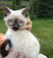 SIAMESE Snowshoe Seal Point $300
