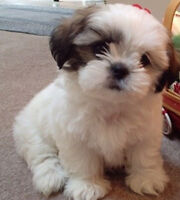 Looking for a White Shorkie, Maltese, Shihtuz