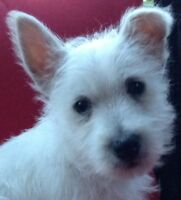 West Highland White Terrier  Male Now 9! Weeks Ready for you!