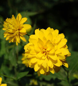 Perfect Time to Plant Your PerennialsGolden Glow Perennial Plant Peterborough Peterborough Area image 1