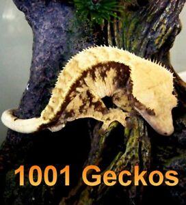 Hand-Raised Crested Geckos and Leopard Geckos!