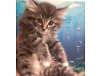 Delightful Siberian Kittens