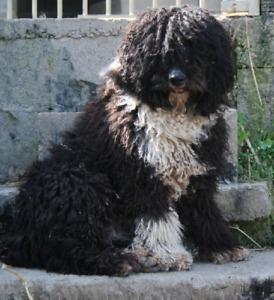 chien d'eau espagnol