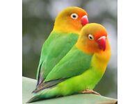 Fisher lovebirds