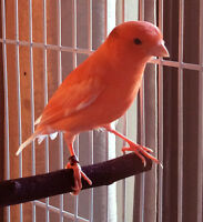Red Mosaic Canary for Sale